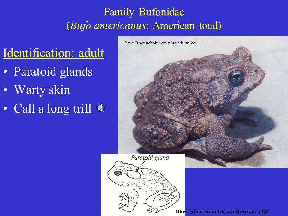 Family Bufonidae (Bufo americanus: American toad) Identification: adult Paratoid glands Warty skin Call a long trill http://spongebob.ncsa.uiuc.edu/mike Illustration from Christoffel et al.