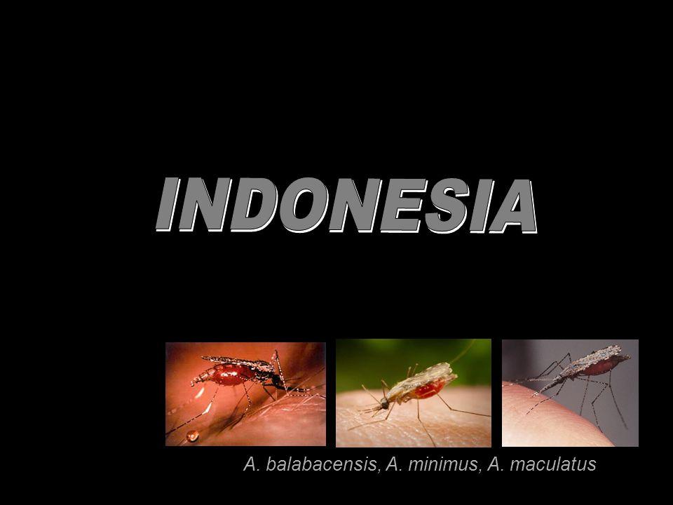 A. balabacensis, A. minimus, A. maculatus