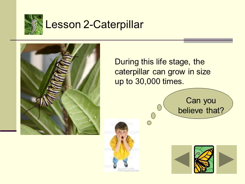 Caterpillars eat mostly the leaves of flowering plants and trees. They use their powerful jaws called mandibles.
