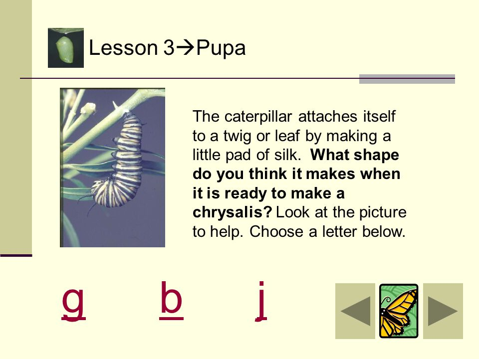 Lesson 3  Pupa The caterpillar goes in search for a nice place to attach itself to a leaf or a twig. The caterpillar is getting ready for its third s