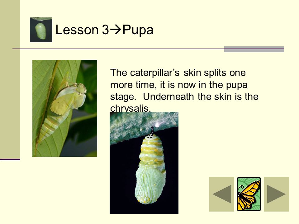 Lesson 3  Pupa That is right! It makes the letter J shape. Good for you! Let's keep learning. Click here Click here to go back to learning about the