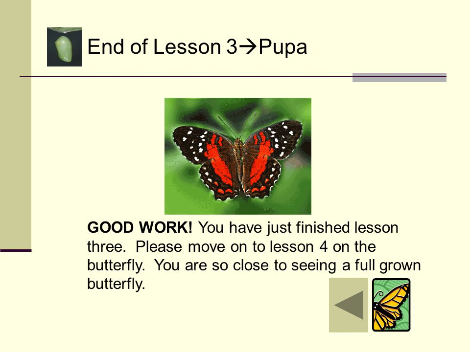 Lesson 3  Pupa One day before the butterfly is ready to come out, the chrysalis becomes transparent or clear enough to see through. It is now ready f