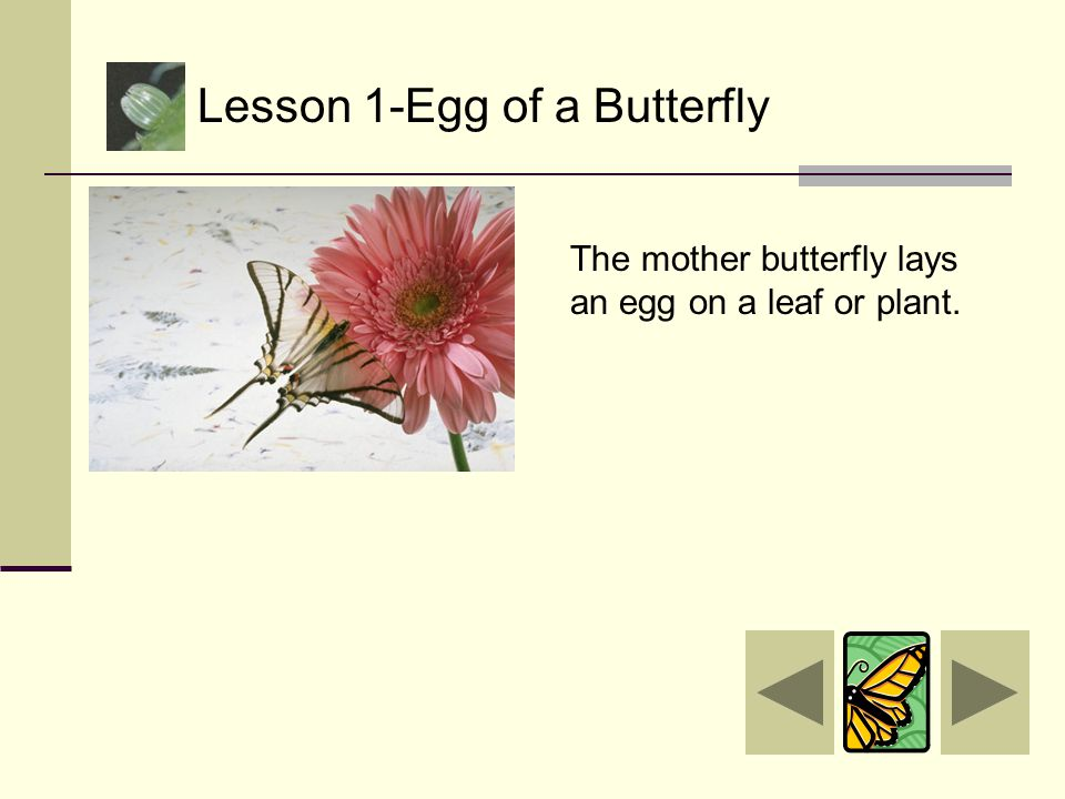 Lesson 1-Egg of a Butterfly Lesson 2-Caterpillar Lesson 3-Pupa Lesson 4-Butterfly Main Menu  Home How much did you learn? Take the life cycle quiz Qu