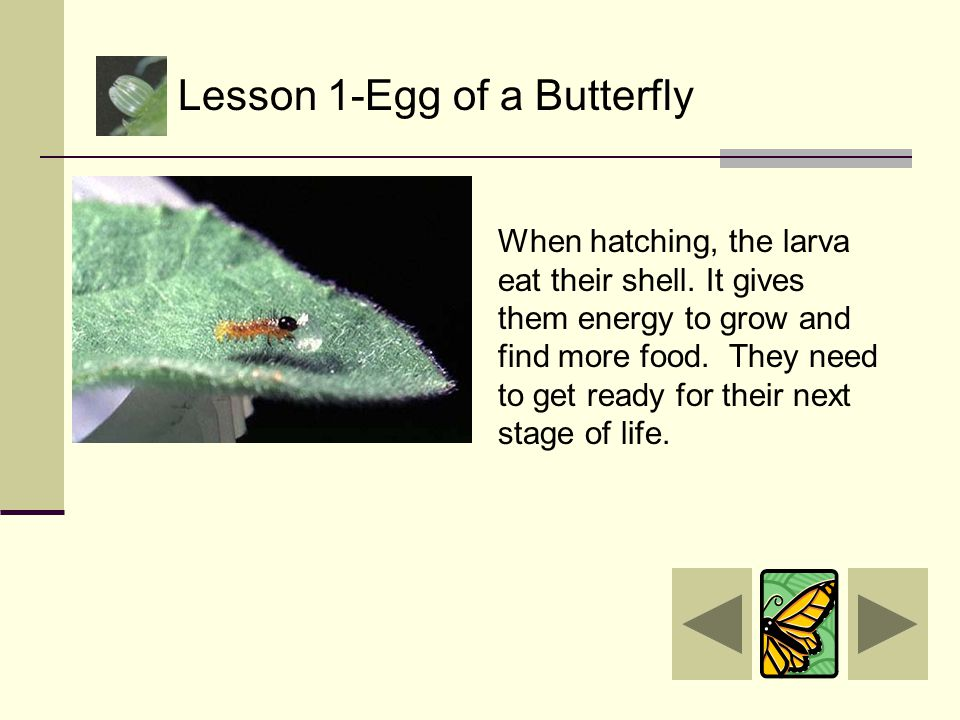 She lays the egg by a plant so her larva (baby caterpillar) will have something to eat after it hatches. Lesson 1-Egg of a Butterfly