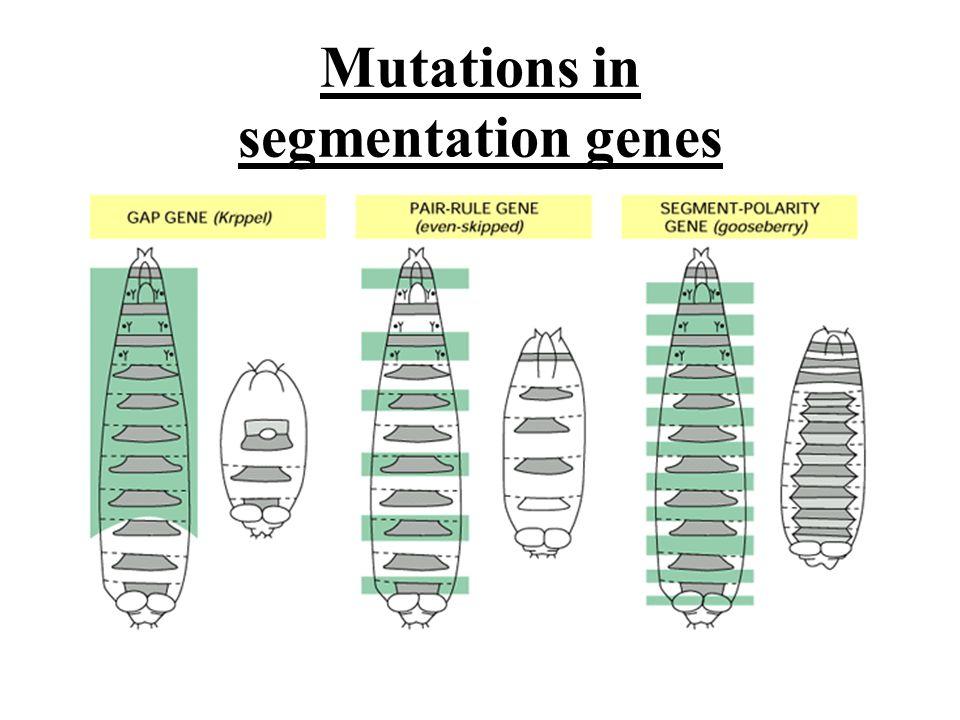 Mutations in segmentation genes