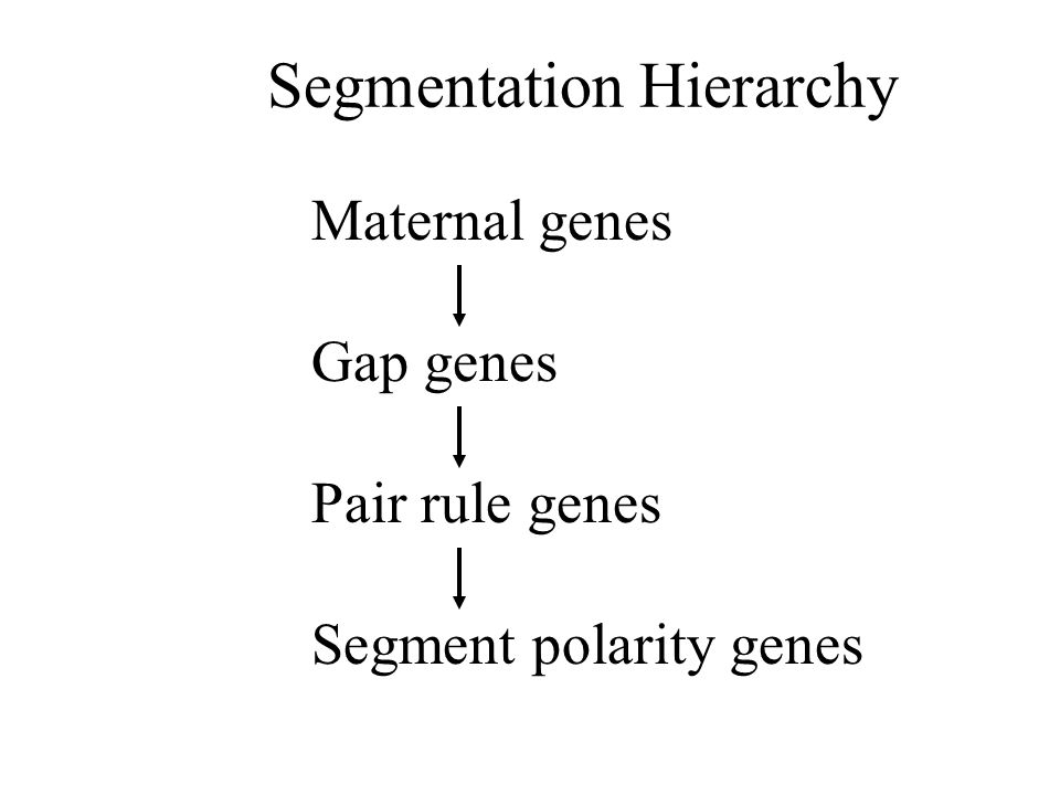 Maternal genes Gap genes Pair rule genes Segment polarity genes Segmentation Hierarchy