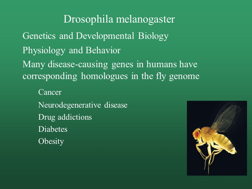 Drosophila melanogaster Genetics and Developmental Biology Physiology and Behavior Many disease-causing genes in humans have corresponding homologues in the fly genome Cancer Neurodegenerative disease Drug addictions Diabetes Obesity