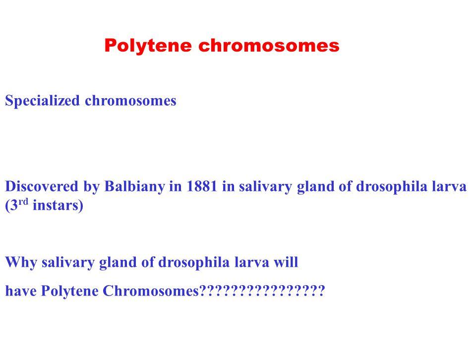 Specialized chromosomes Discovered by Balbiany in 1881 in salivary gland of drosophila larva (3 rd instars) Why salivary gland of drosophila larva will have Polytene Chromosomes .