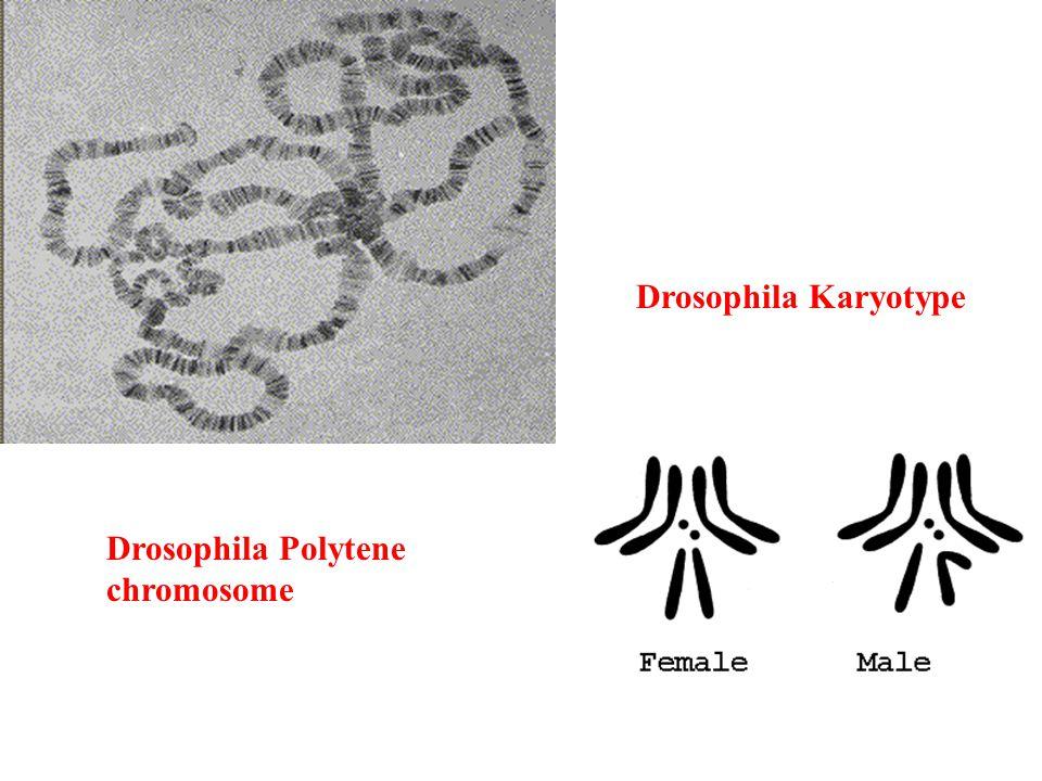 Drosophila Polytene chromosome Drosophila Karyotype