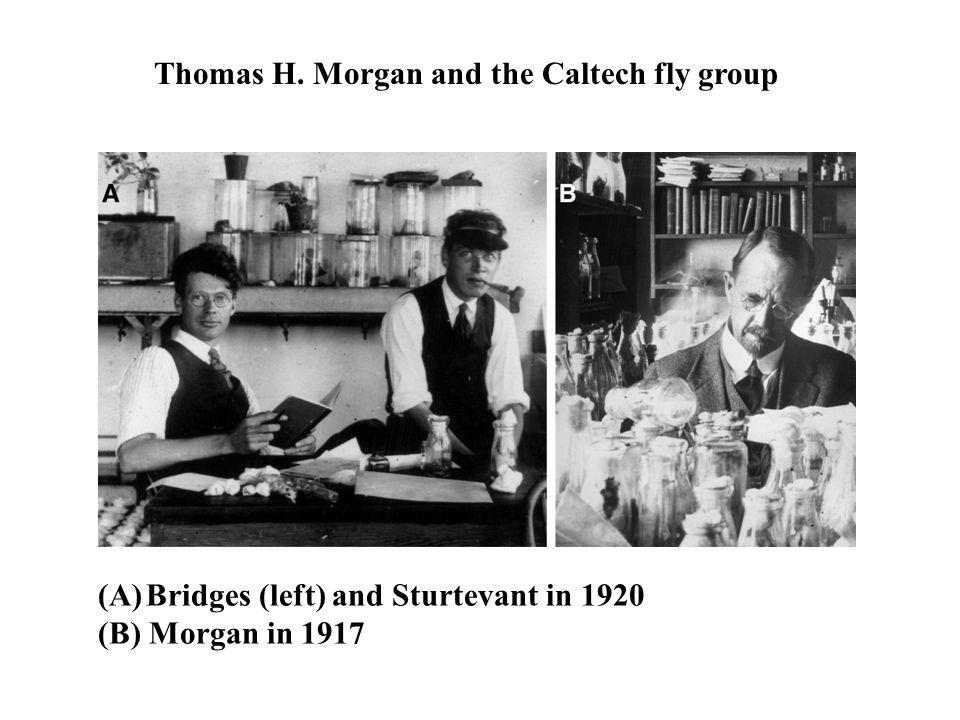 (A)Bridges (left) and Sturtevant in 1920 (B) Morgan in 1917 Thomas H.