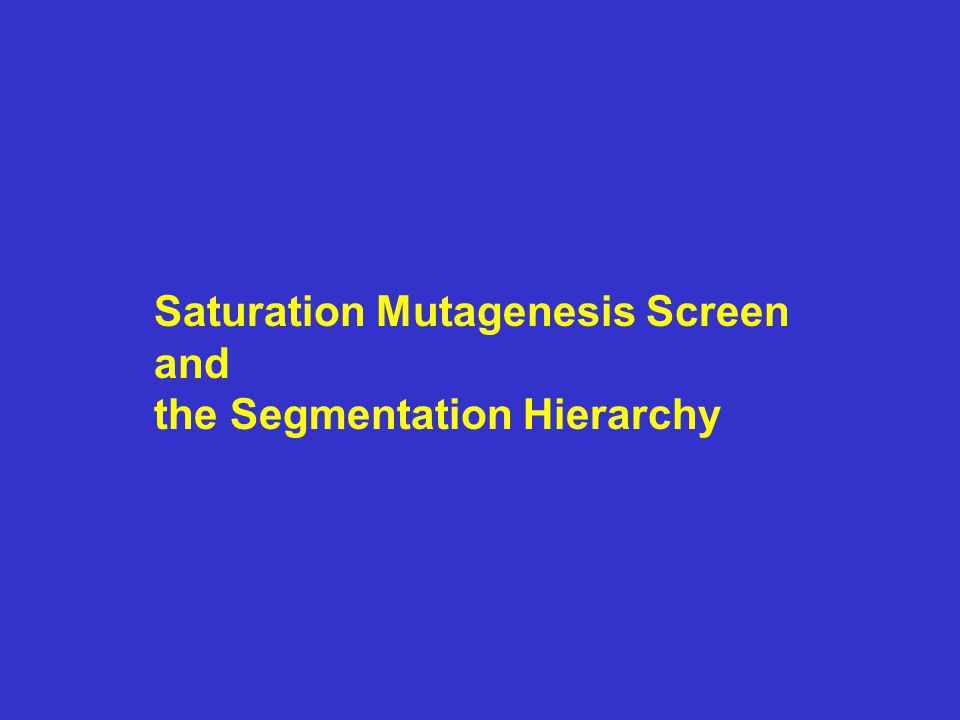 Saturation Mutagenesis Screen and the Segmentation Hierarchy