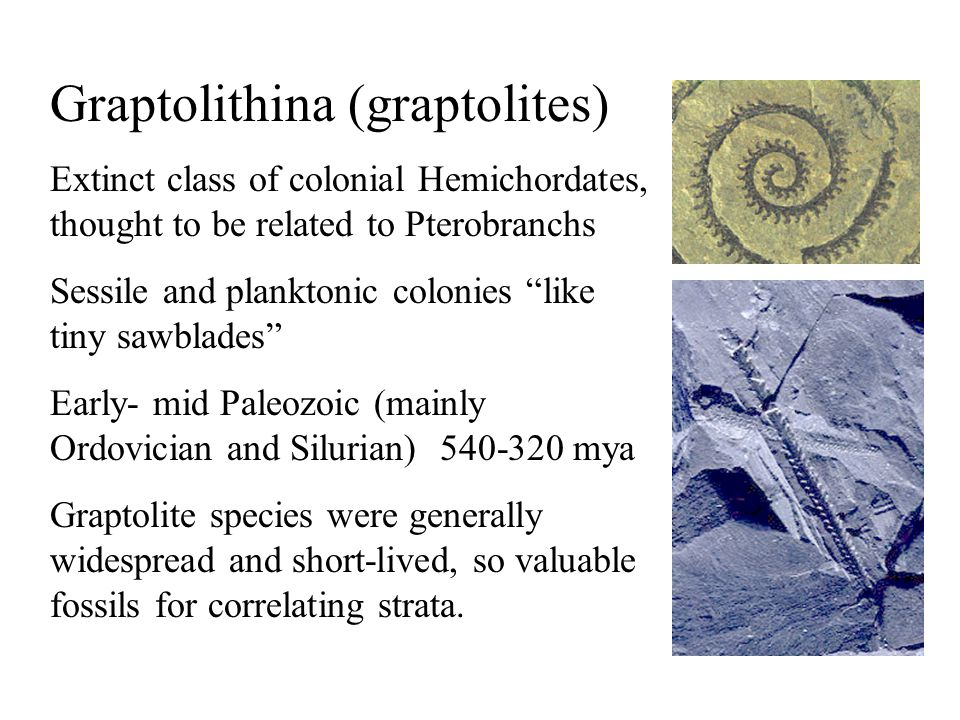 "Graptolithina (graptolites) Extinct class of colonial Hemichordates, thought to be related to Pterobranchs Sessile and planktonic colonies ""like tiny"