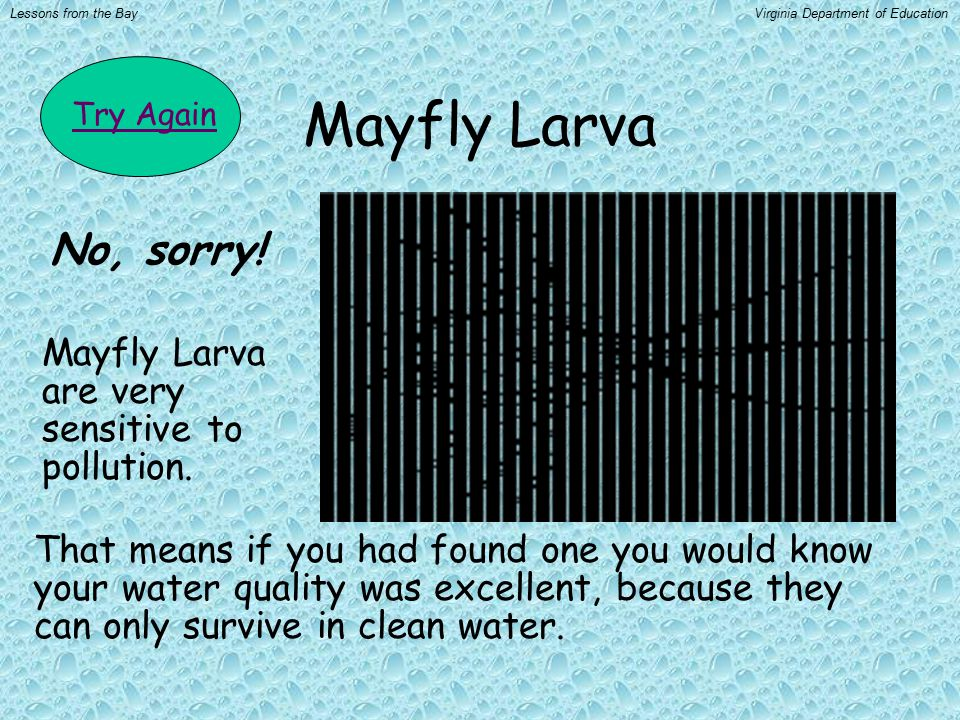Mayfly Larva Mayfly Larva are very sensitive to pollution.