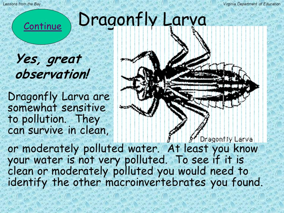 Dragonfly Larva Continue Yes, great observation! Dragonfly Larva are somewhat sensitive to pollution. They can survive in clean, or moderately pollute