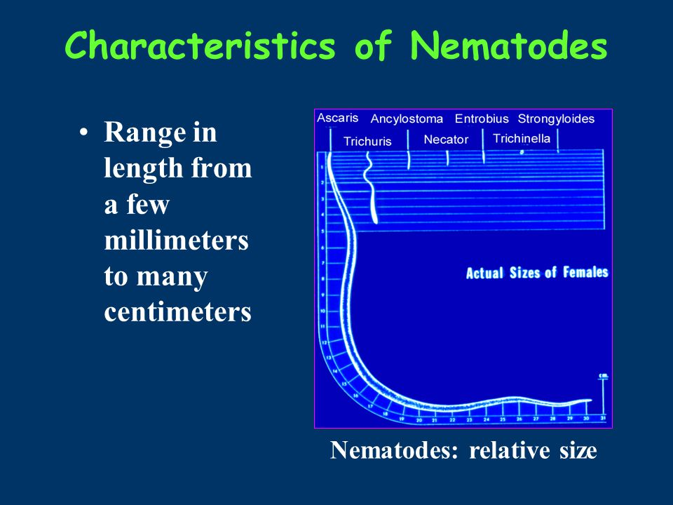 Characteristics of Nematodes Range in length from a few millimeters to many centimeters Nematodes: relative size