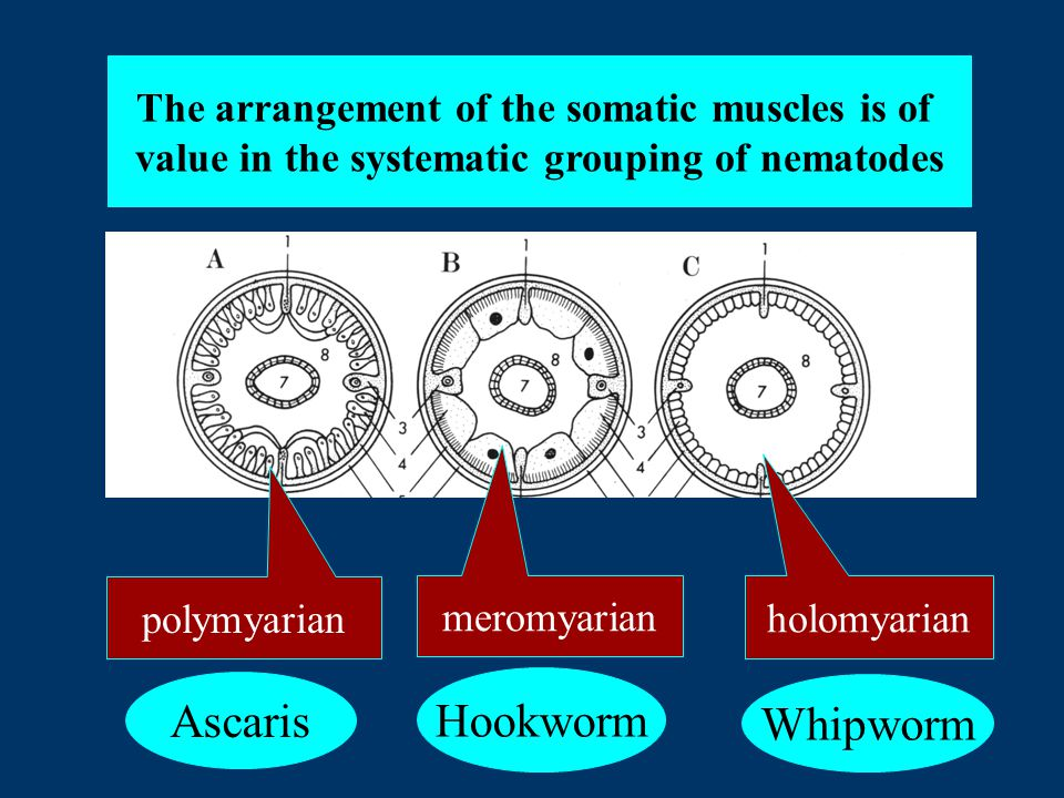 The arrangement of the somatic muscles is of value in the systematic grouping of nematodes polymyarian holomyarian meromyarian Ascaris Hookworm Whipworm