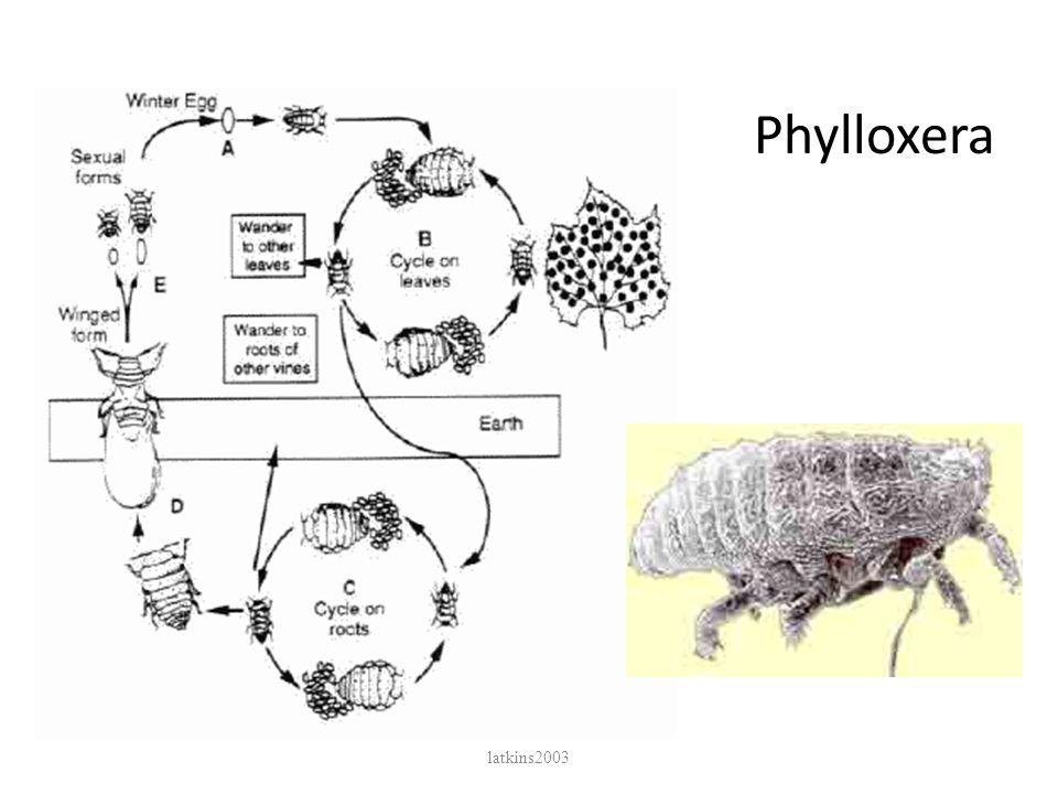 Phylloxera latkins2003