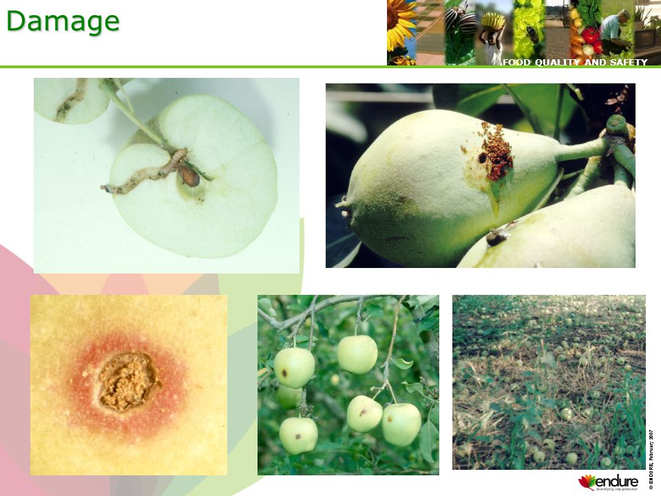 © ENDURE, February 2007 FOOD QUALITY AND SAFETY © ENDURE, February 2007 FOOD QUALITY AND SAFETY Damage