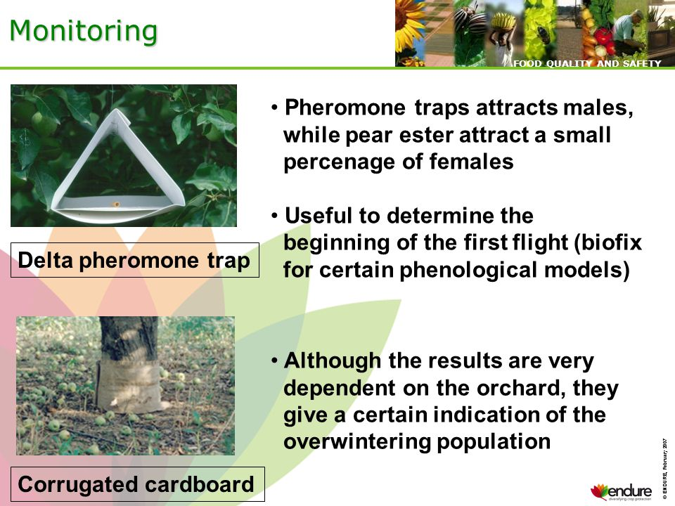 © ENDURE, February 2007 FOOD QUALITY AND SAFETY © ENDURE, February 2007 FOOD QUALITY AND SAFETY Monitoring Delta pheromone trap Corrugated cardboard Pheromone traps attracts males, while pear ester attract a small percenage of females Useful to determine the beginning of the first flight (biofix for certain phenological models) Although the results are very dependent on the orchard, they give a certain indication of the overwintering population