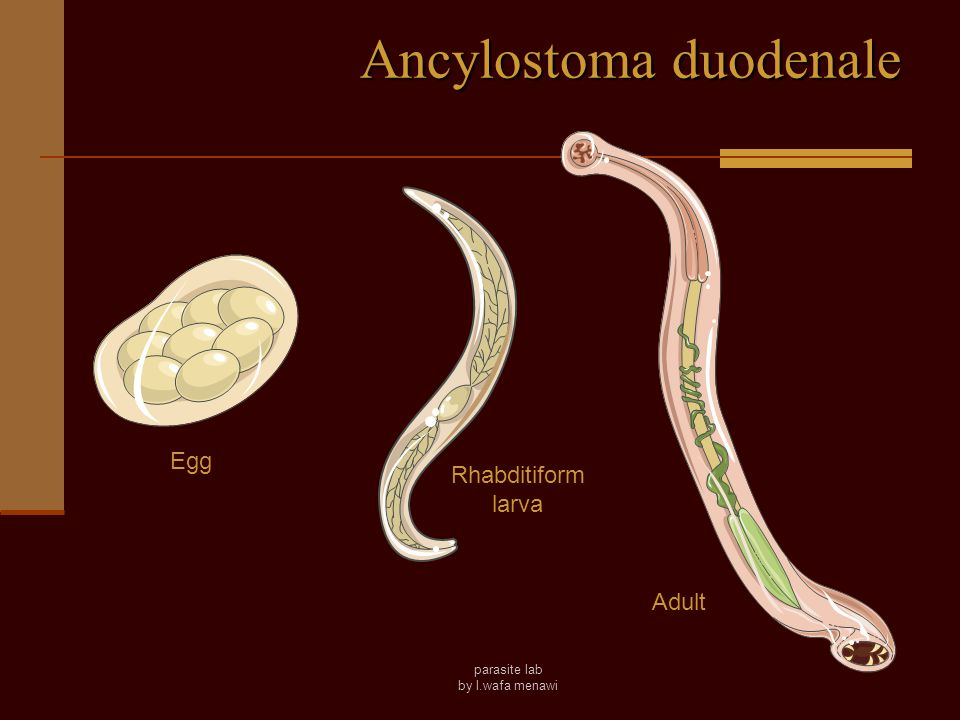 parasite lab by l.wafa menawi Hookworms Ancylostoma is found in Europe around the Mediterranean, on the West coast of South America and in parts of China and India Necator is found over much of the western hemisphere, Africa and South East Asia More than a billion people infected