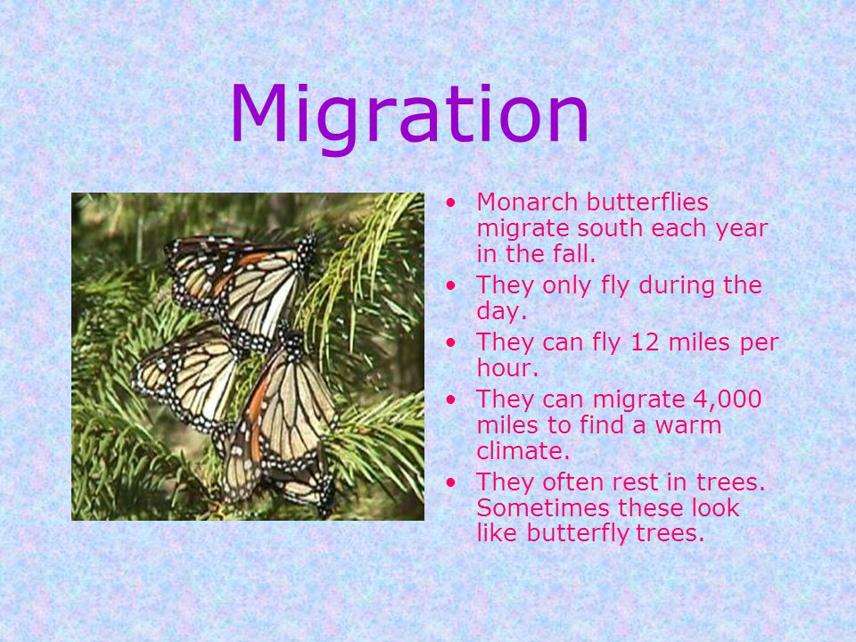 Defense The monarch is protected from predators because of its bad taste. Birds get sick from eating it. Another butterfly, the viceroy, looks similar