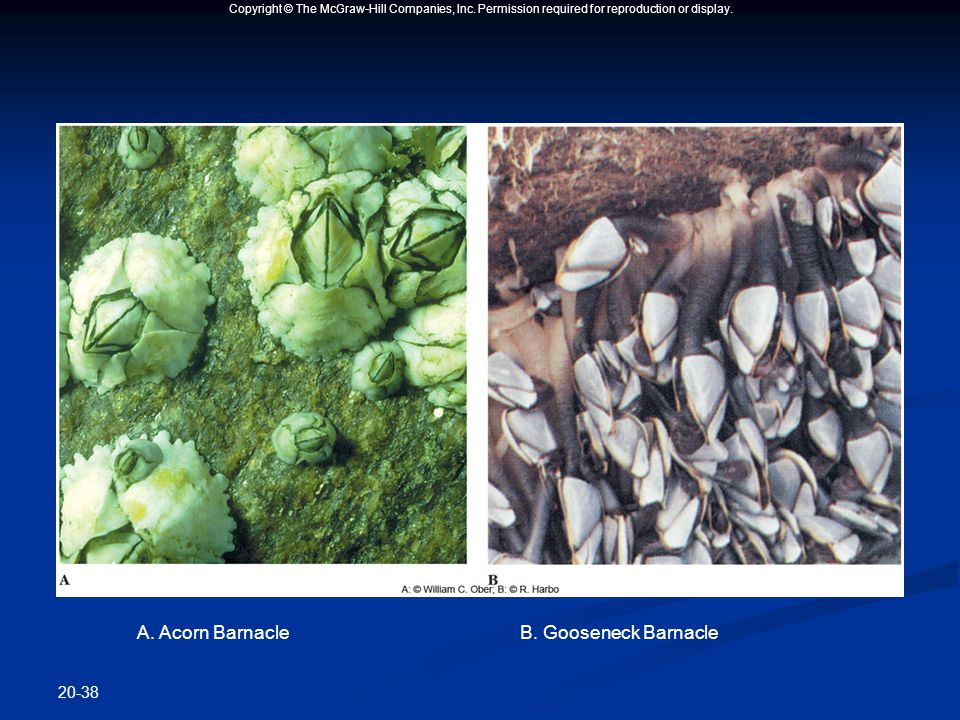 Copyright © The McGraw-Hill Companies, Inc. Permission required for reproduction or display. 20-38 A. Acorn BarnacleB. Gooseneck Barnacle