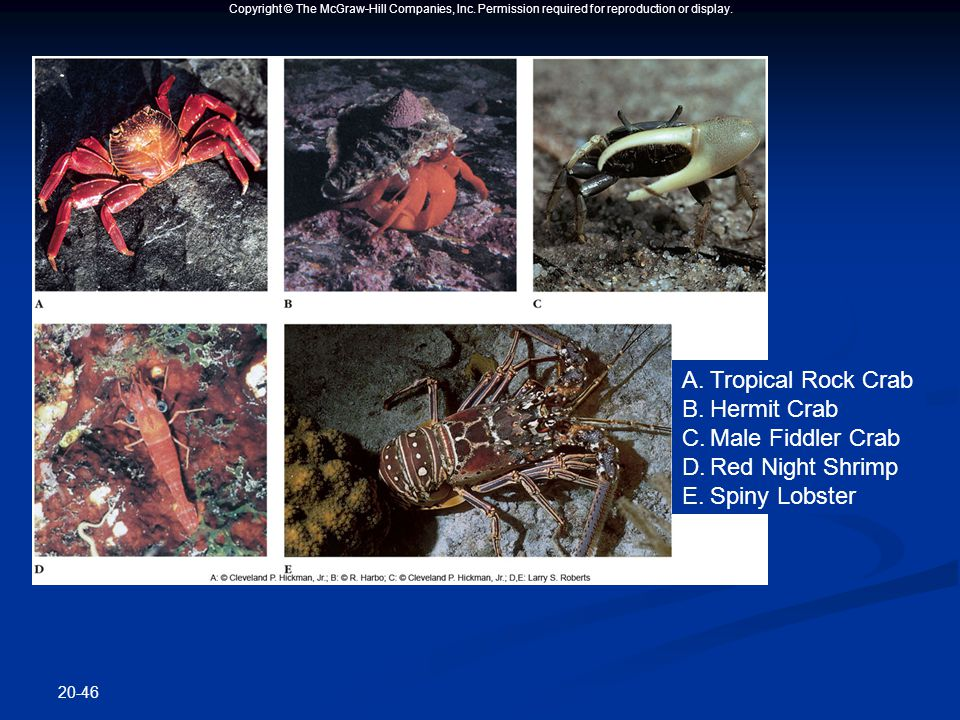 Copyright © The McGraw-Hill Companies, Inc. Permission required for reproduction or display. 20-46 A.Tropical Rock Crab B.Hermit Crab C.Male Fiddler C
