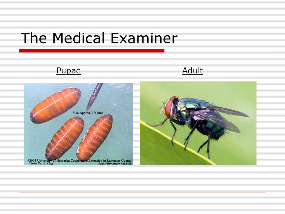 The Medical Examiner PupaeAdult