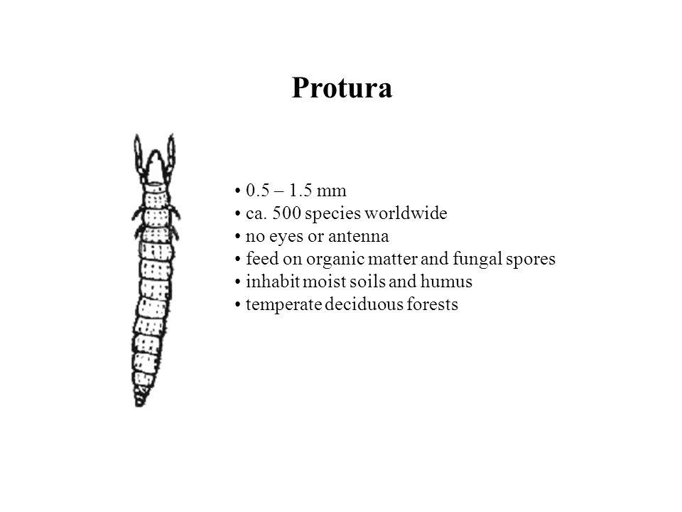 Protura 0.5 – 1.5 mm ca.