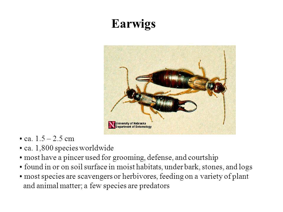 Earwigs ca.1.5 – 2.5 cm ca.