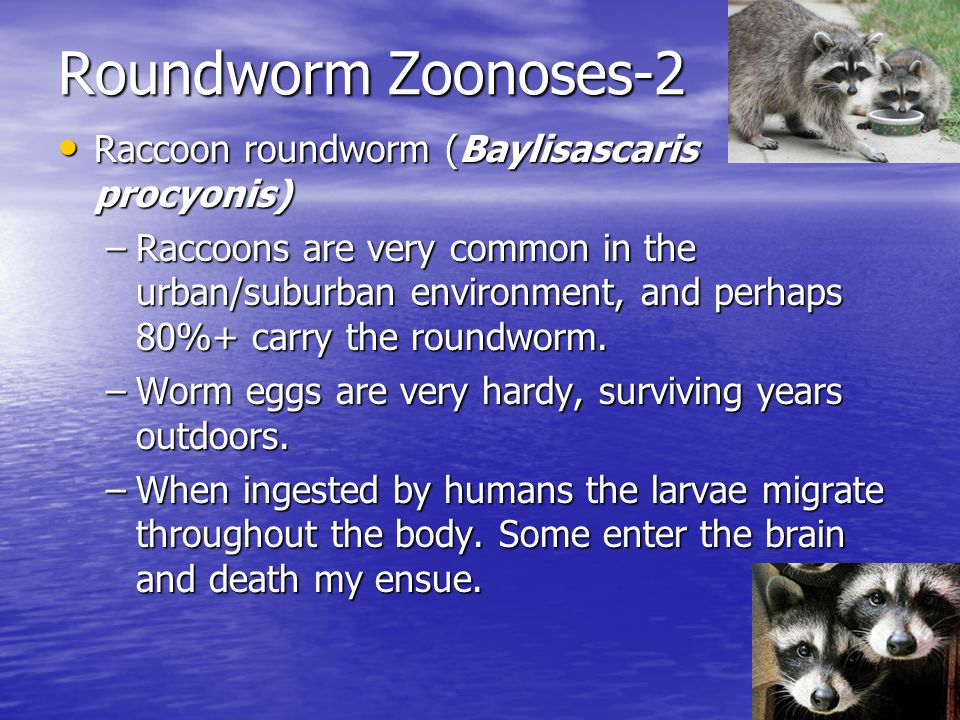 Roundworm Zoonoses-2 Raccoon roundworm (Baylisascaris procyonis) Raccoon roundworm (Baylisascaris procyonis) –Raccoons are very common in the urban/su