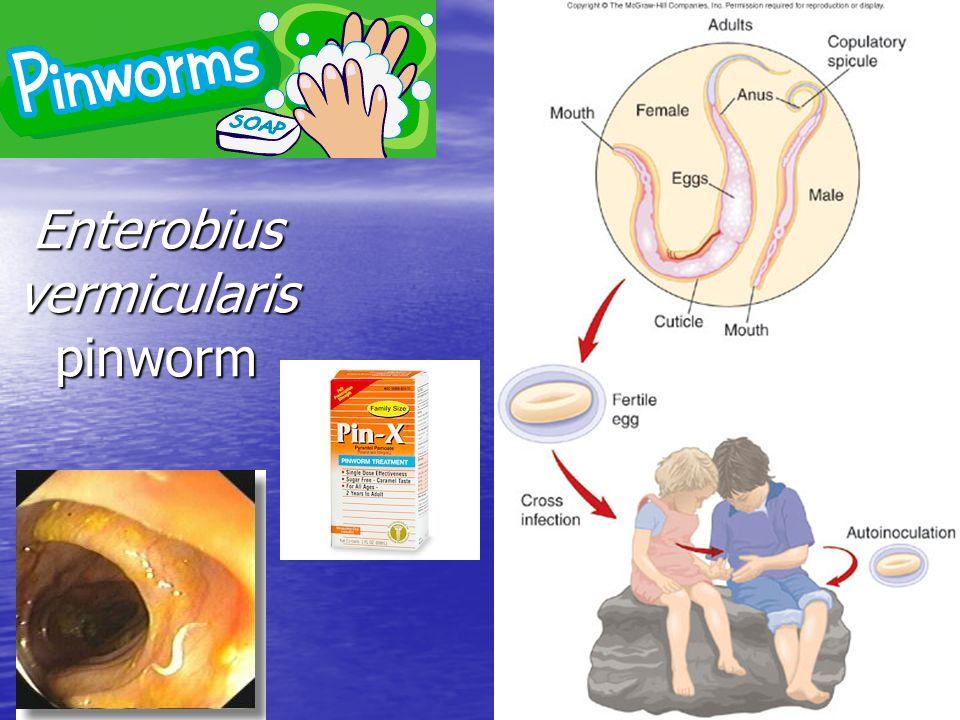 Enterobius vermicularis pinworm
