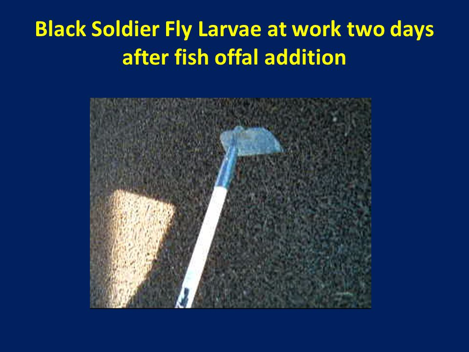Black Soldier Fly Larvae at work two days after fish offal addition