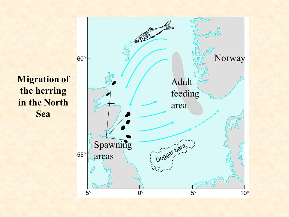 Migration of the herring in the North Sea Norway Adult feeding area Spawning areas