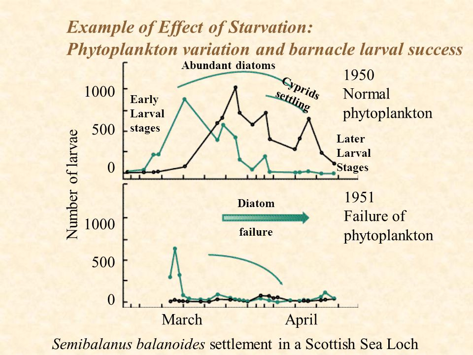 Example of Effect of Starvation: Phytoplankton variation and barnacle larval success Semibalanus balanoides settlement in a Scottish Sea Loch 1950 Nor
