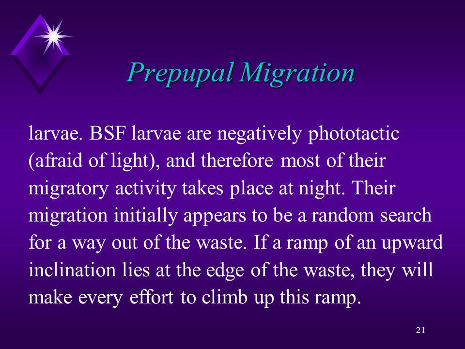 21 Prepupal Migration larvae.