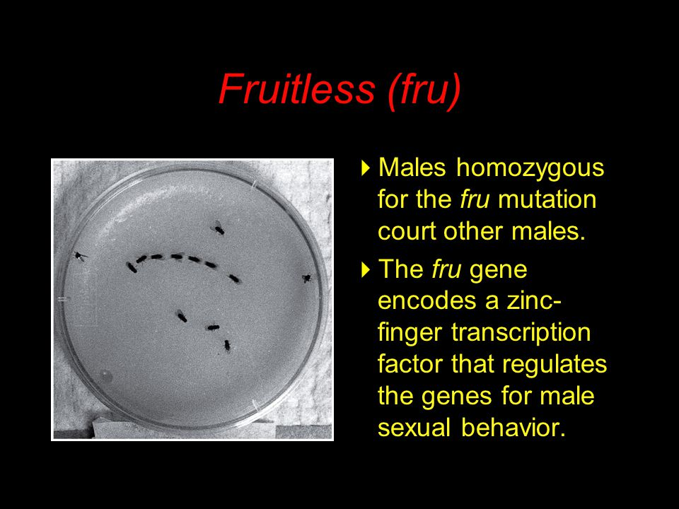 Fruitless (fru)  Males homozygous for the fru mutation court other males.