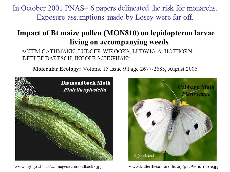 Impact of Bt maize pollen (MON810) on lepidopteron larvae living on accompanying weeds ACHIM GATHMANN, LUDGER WIROOKS, LUDWIG A.