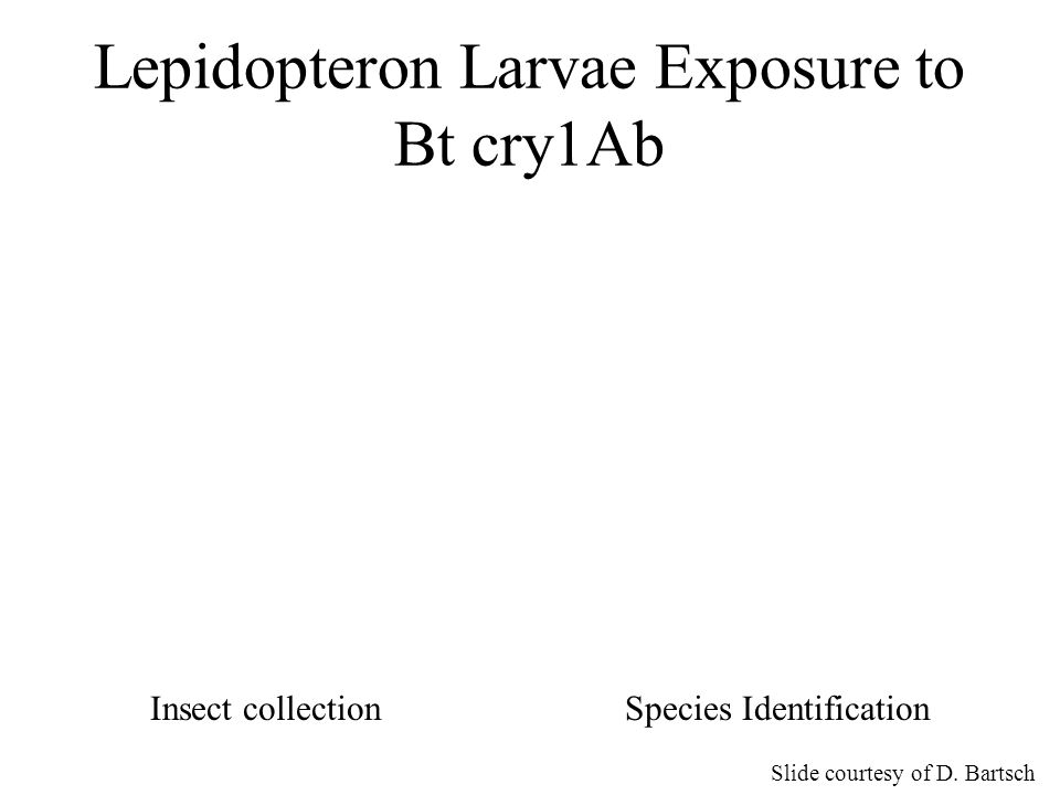 Lepidopteron Larvae Exposure to Bt cry1Ab Slide courtesy of D. Bartsch Insect collectionSpecies Identification