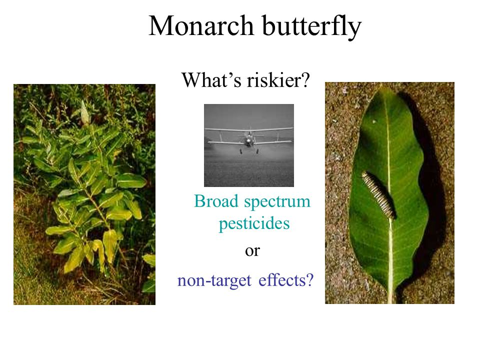 Monarch butterfly What's riskier? Broad spectrum pesticides or non-target effects?