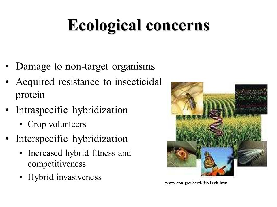 Ecological concerns Damage to non-target organisms Acquired resistance to insecticidal protein Intraspecific hybridization Crop volunteers Interspecif