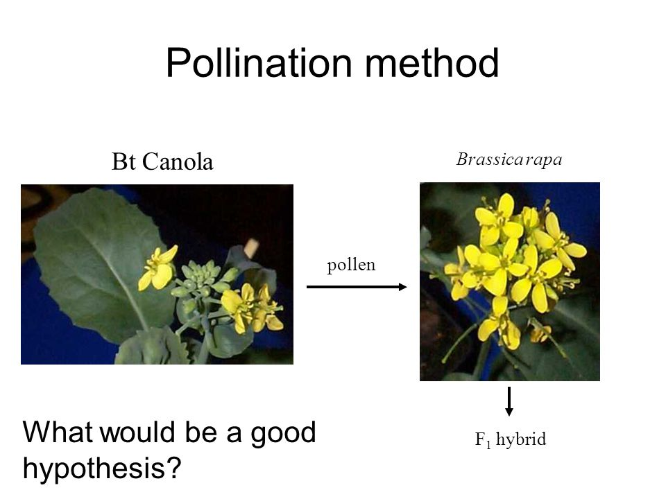 Pollination method Bt Canola Brassica rapa pollen F 1 hybrid What would be a good hypothesis?