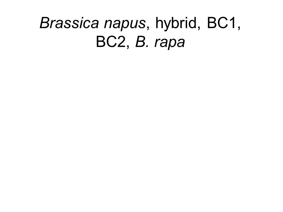 Brassica napus, hybrid, BC1, BC2, B. rapa B. napus F 1 BC 1 BC 2 B. rapa