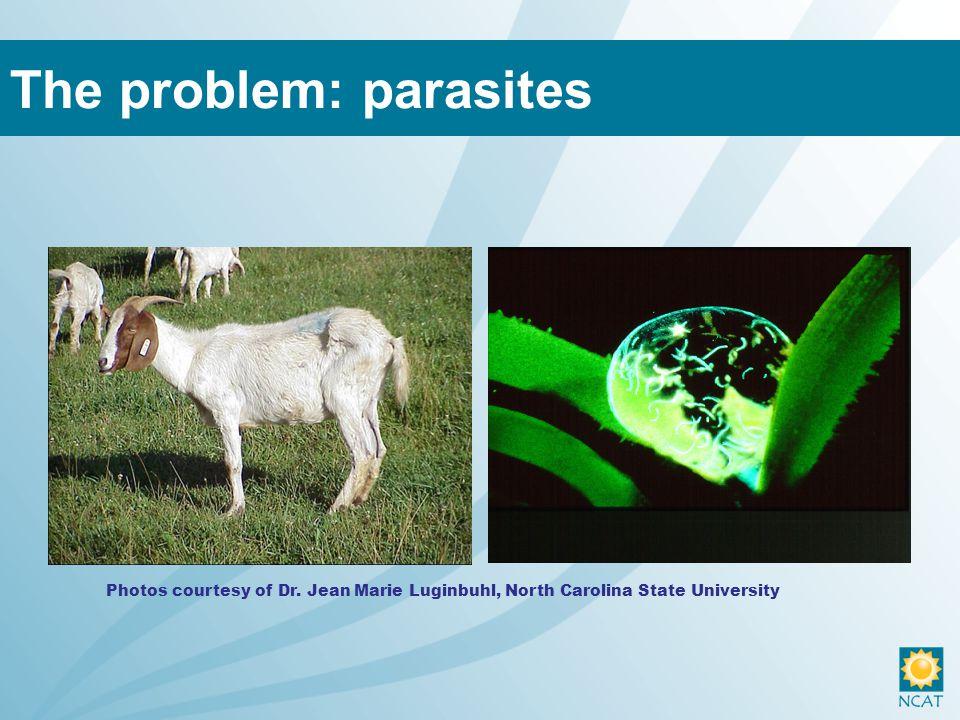 The problem: parasites Photos courtesy of Dr. Jean Marie Luginbuhl, North Carolina State University