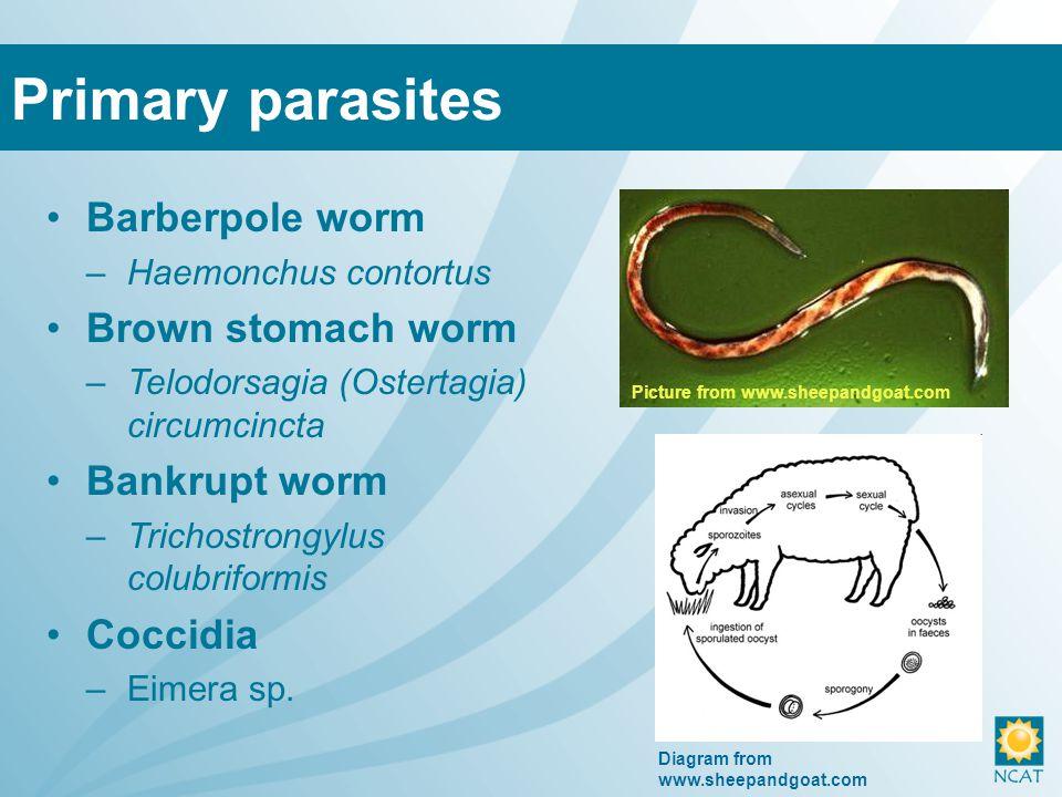Barberpole worm –Haemonchus contortus Brown stomach worm –Telodorsagia (Ostertagia) circumcincta Bankrupt worm –Trichostrongylus colubriformis Coccidia –Eimera sp.