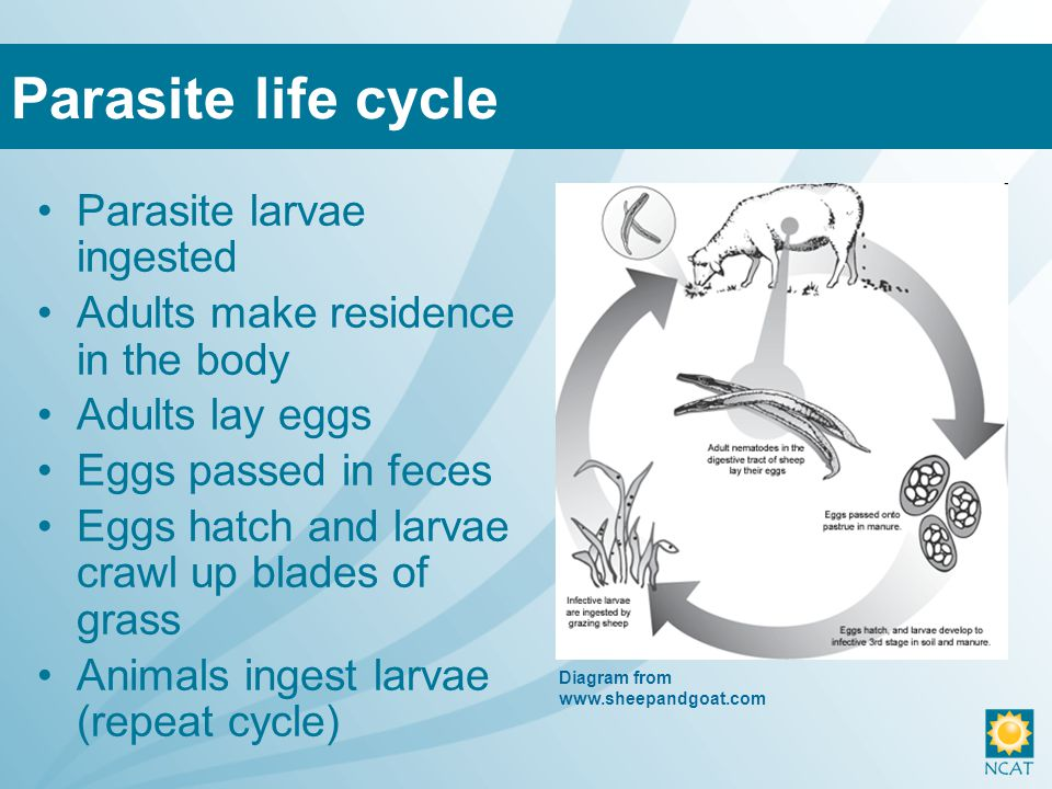 Garlic Nematode-trapping Fungus –Fungus traps parasite larva in the feces –Not commercially available yet Vaccines –Not available yet Other techniques