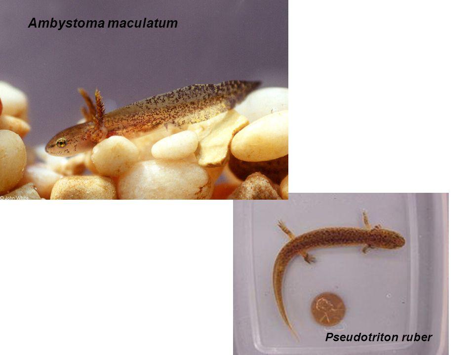 Pseudotriton ruber Ambystoma maculatum