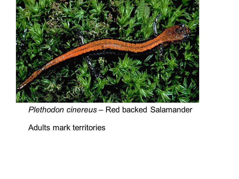 Plethodon cinereus – Red backed Salamander Adults mark territories