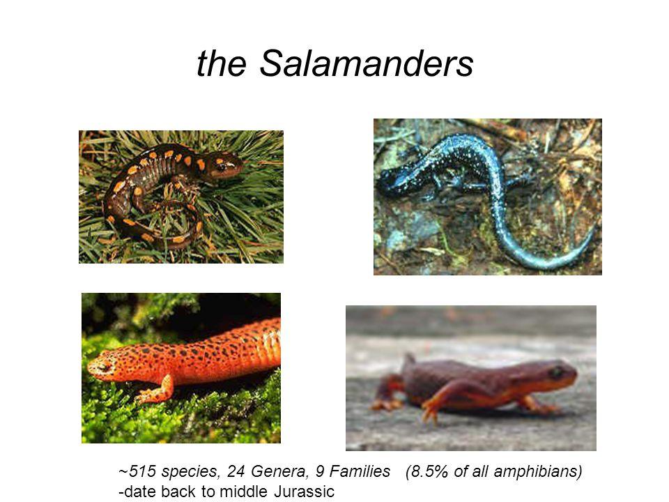 Chinese giant salamander (Andrias davidianus) Del Norte Salamander (Plethodon elongatus) Hemidactylium scutatum