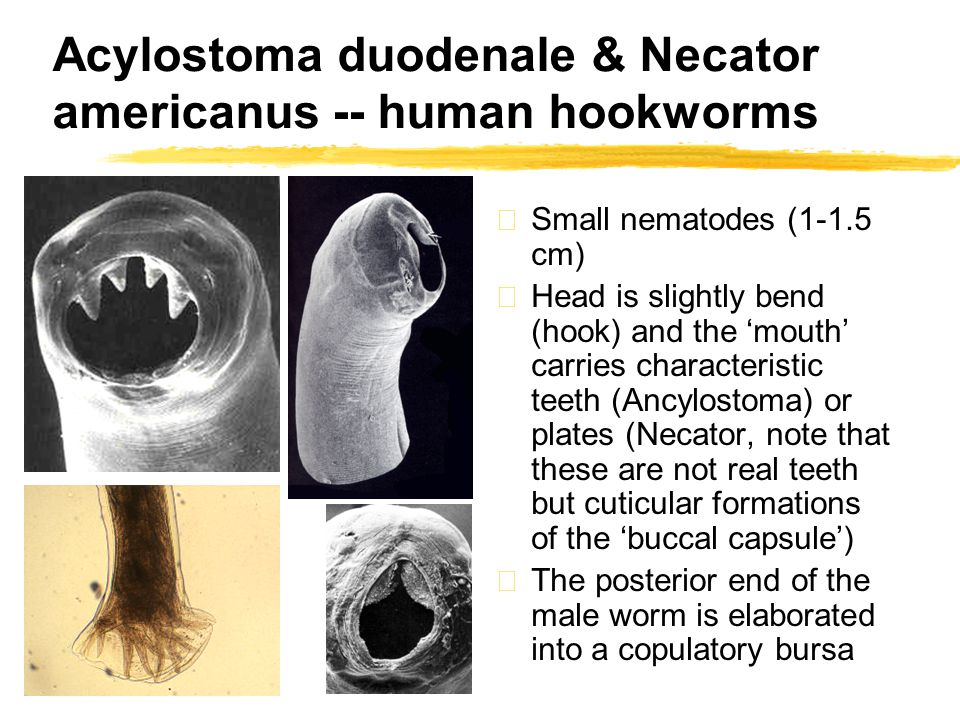 Acylostoma duodenale & Necator americanus -- human hookworms zSmall nematodes (1-1.5 cm) zHead is slightly bend (hook) and the 'mouth' carries characteristic teeth (Ancylostoma) or plates (Necator, note that these are not real teeth but cuticular formations of the 'buccal capsule') zThe posterior end of the male worm is elaborated into a copulatory bursa